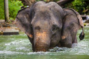 פיל במים בתאילנד